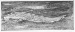 Image of California lancelet