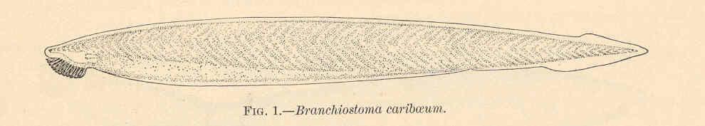 Image of <i>Branchiostoma caribaeum</i> Sundevall 1853
