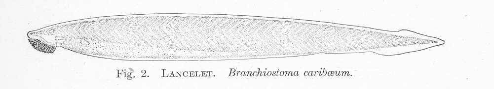 Image of Branchiostoma