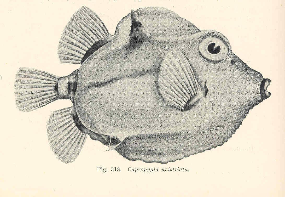 Image of Capropygia