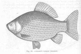 Image of <i>Carassius gibelio</i> (Bloch 1782)
