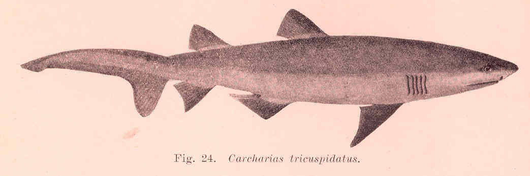 Image of sand shark