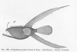 Image of Fanfin Angler