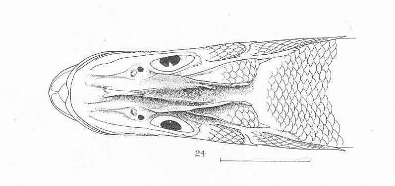 Image of swordspine snook