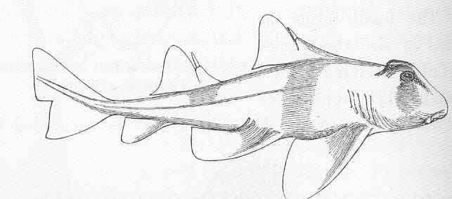 Image of <i>Cestracion galeatus</i>
