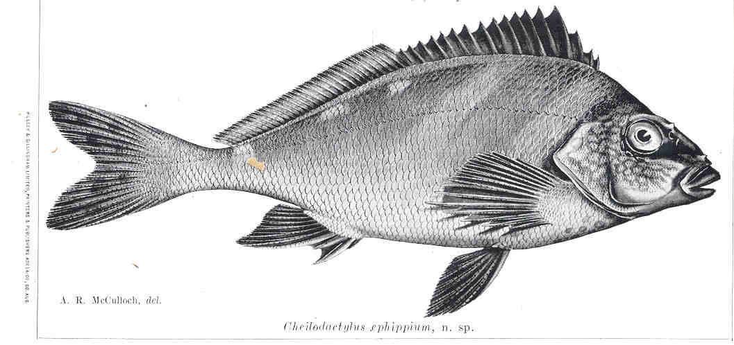 Image of <i>Cheilodactylus ephippium</i> Mc Culloch & Waite 1916
