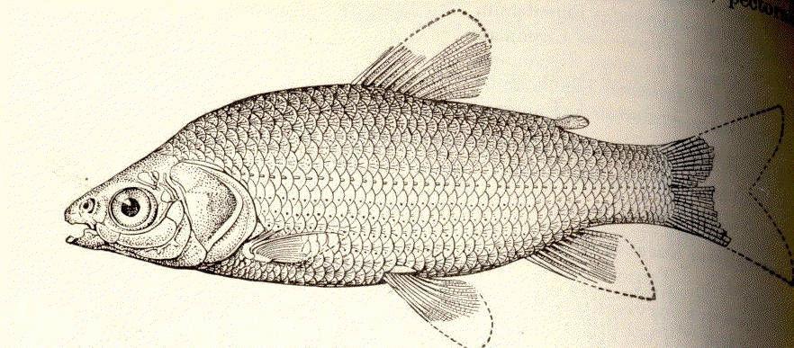 Image of <i>Pseudocurimata troschelii</i> (Günther 1860)