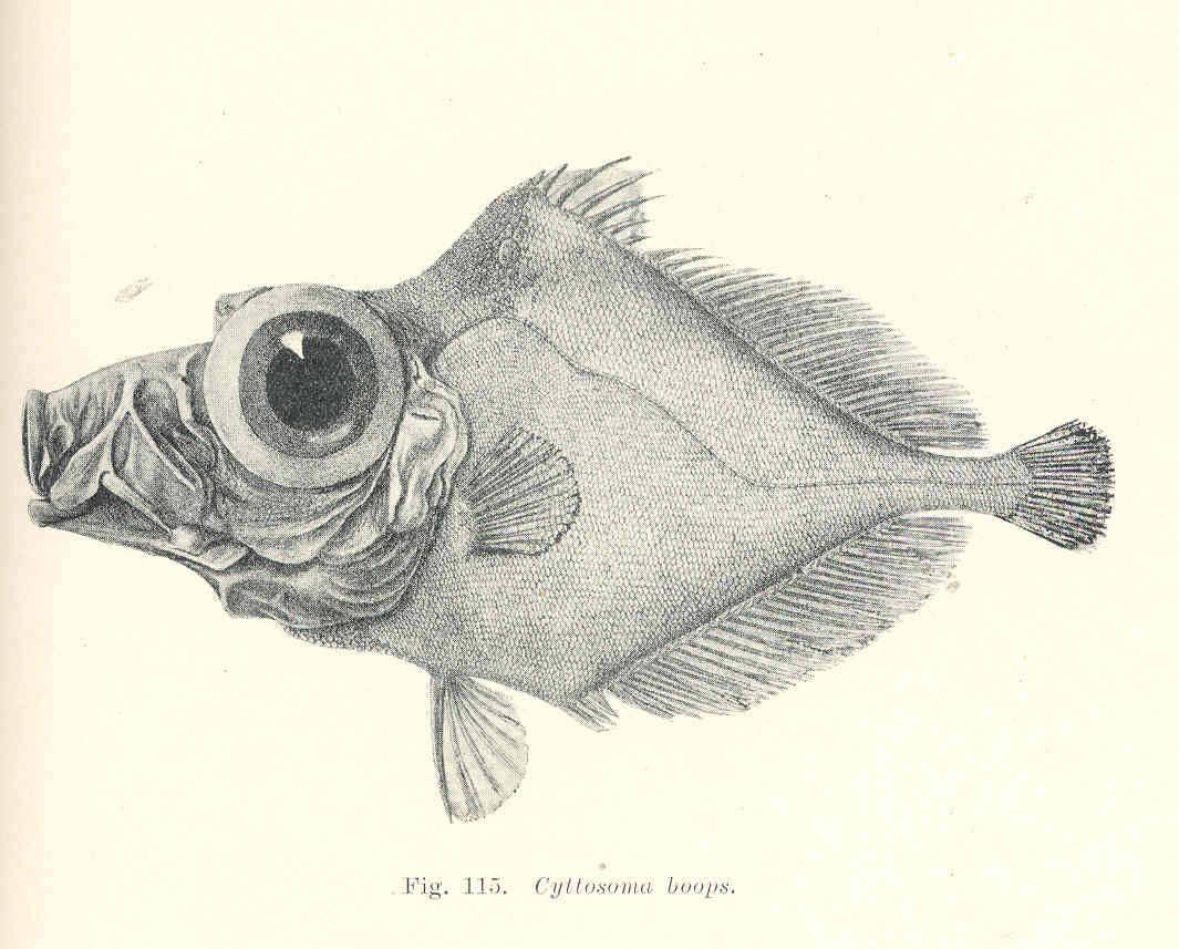 Image of Ox-eye oreo