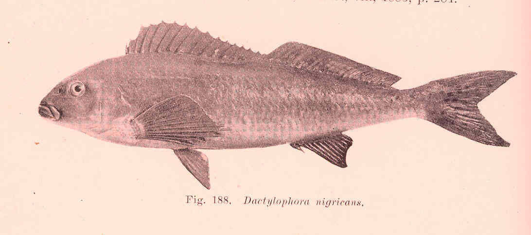 Image of Black butterfish