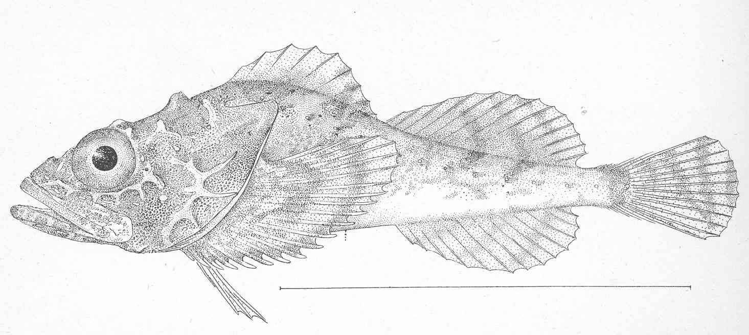 Image of spinyhead sculpin