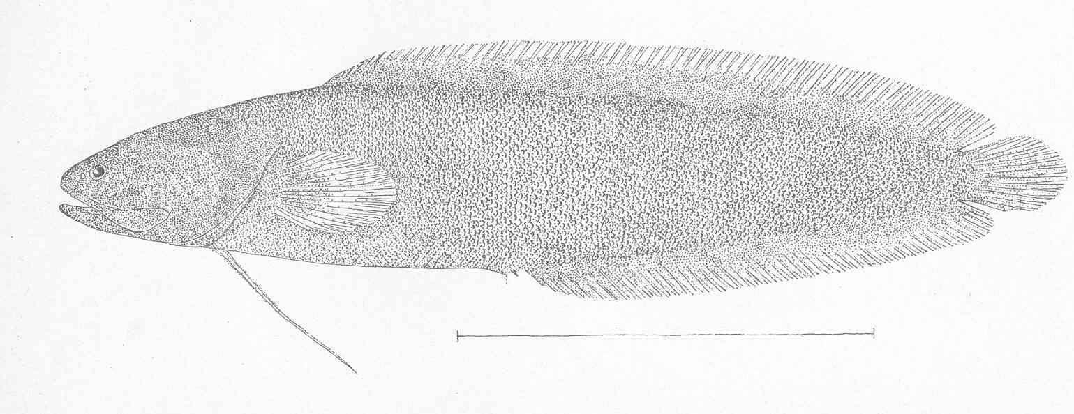 Image of <i>Dinematichthys ventralis</i>