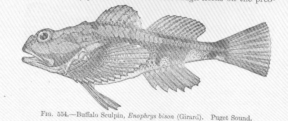 Image of buffalo sculpin