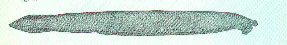 Image of <i>Epigonichthys bassanus</i> (Günther 1884)