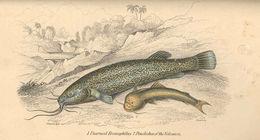 Image of Eremophilus