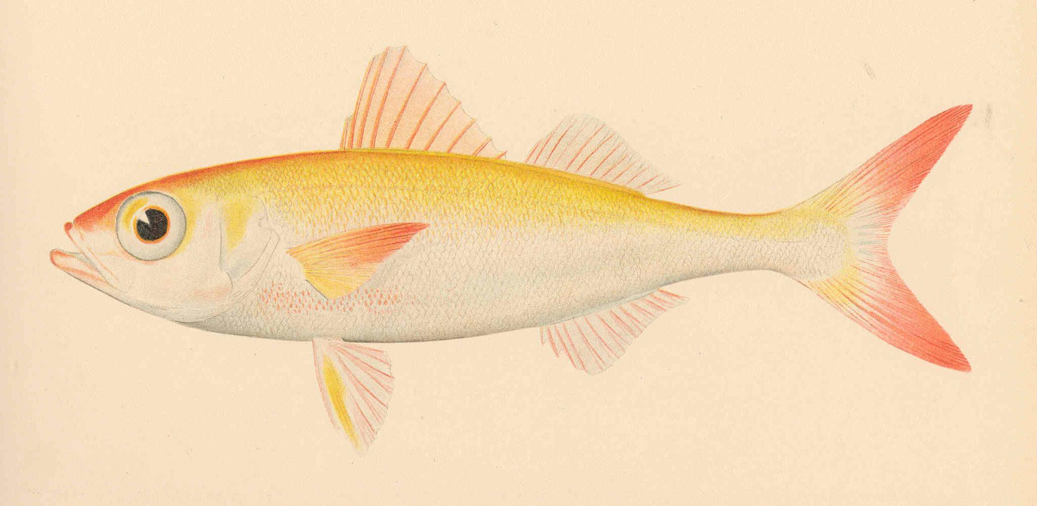 Image of Japanese rubyfish