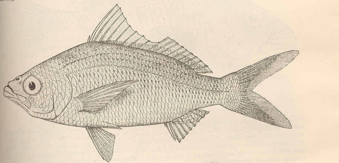 Image of Eucinostomus