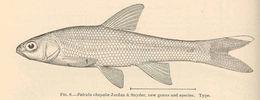 Image of Chapala chub