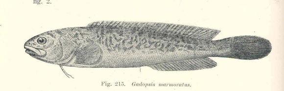 Image of River blackfish
