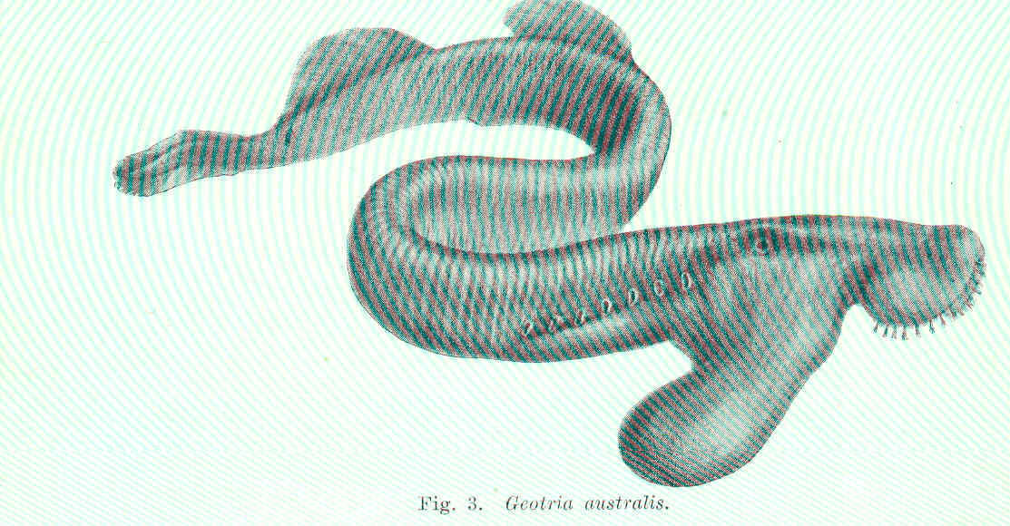 Image of Pouched Lamprey