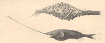 Image of Gigantactis