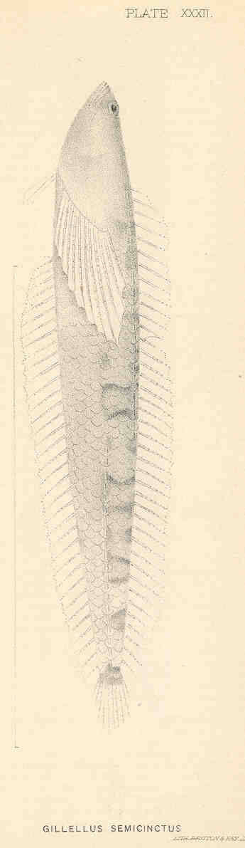 Image of <i>Gillellus semicinctus</i> Gilbert 1890