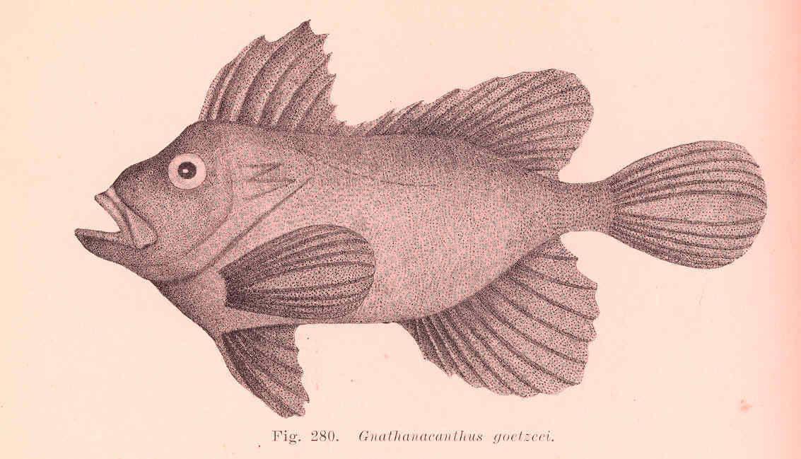 Image of red velvetfish