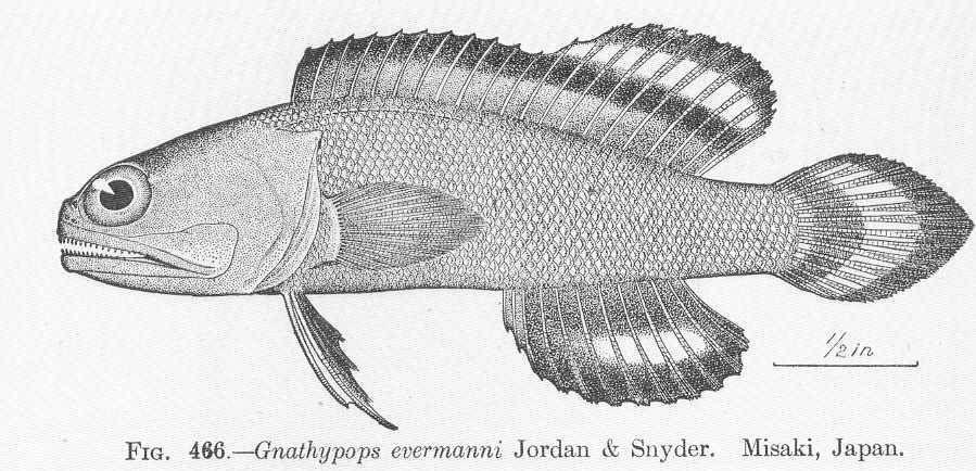 Image of <i>Opistognathus evermanni</i> (Jordan & Snyder 1902)
