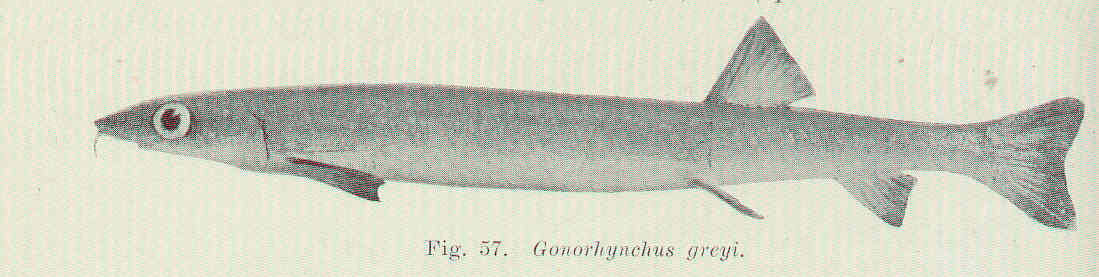 Image of Beaked Salmon