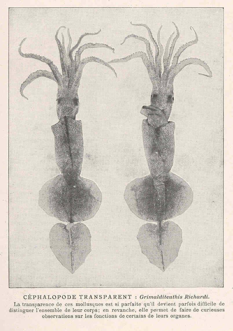 Image of <i>Grimalditeuthis bonplandi</i> (Verany 1839)