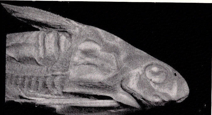 Image of Hemidoras