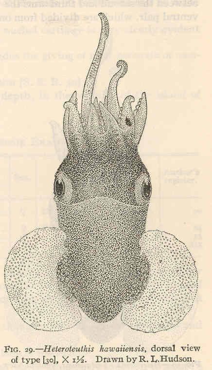 Image of <i>Heteroteuthis</i> (<i>Stephanoteuthis</i>) <i>serventyi</i> Allan 1945