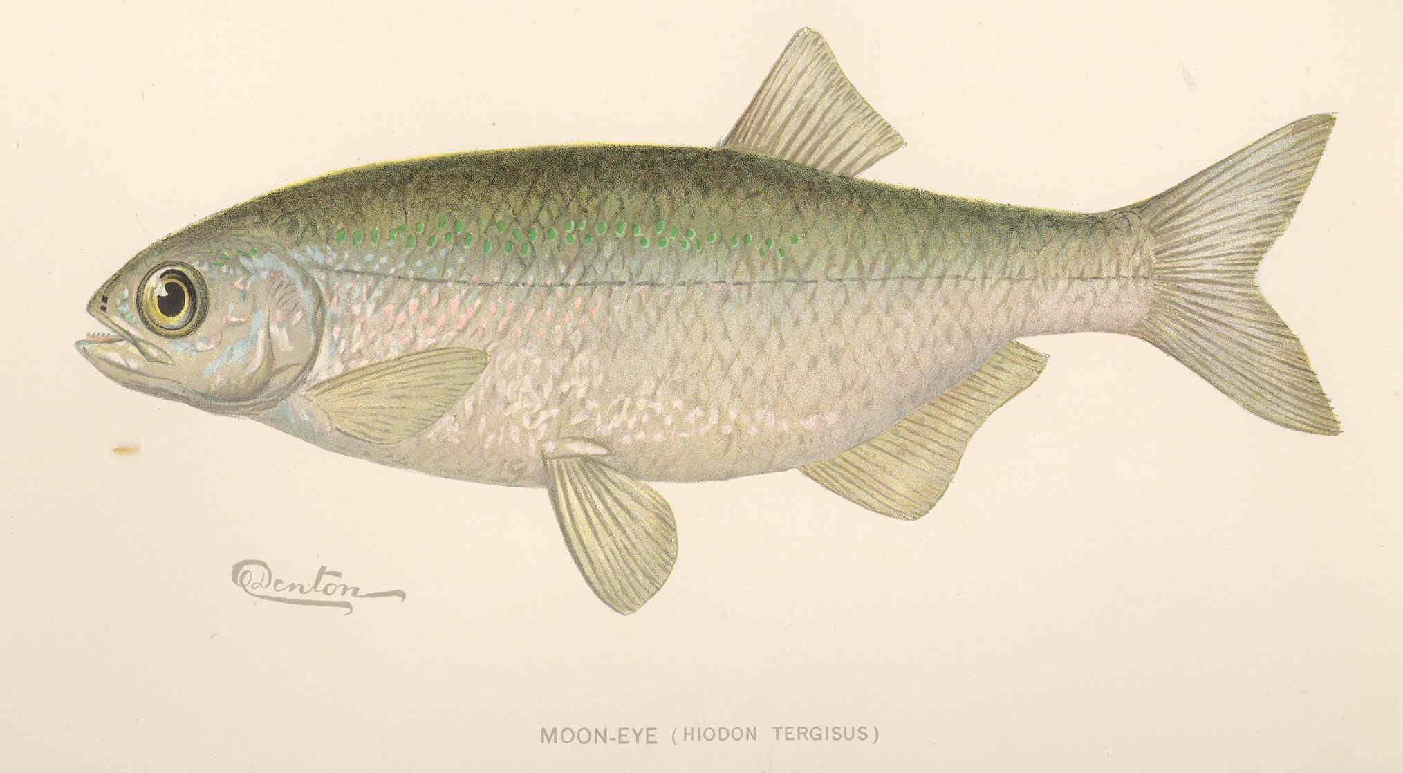 Image of Mooneye