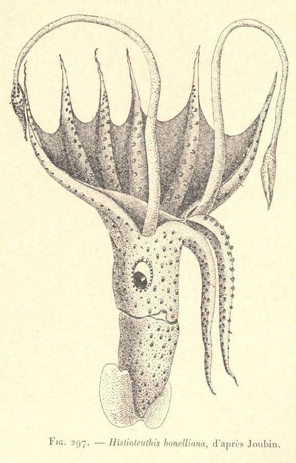 Image of <i>Histioteuthis bonellii</i>