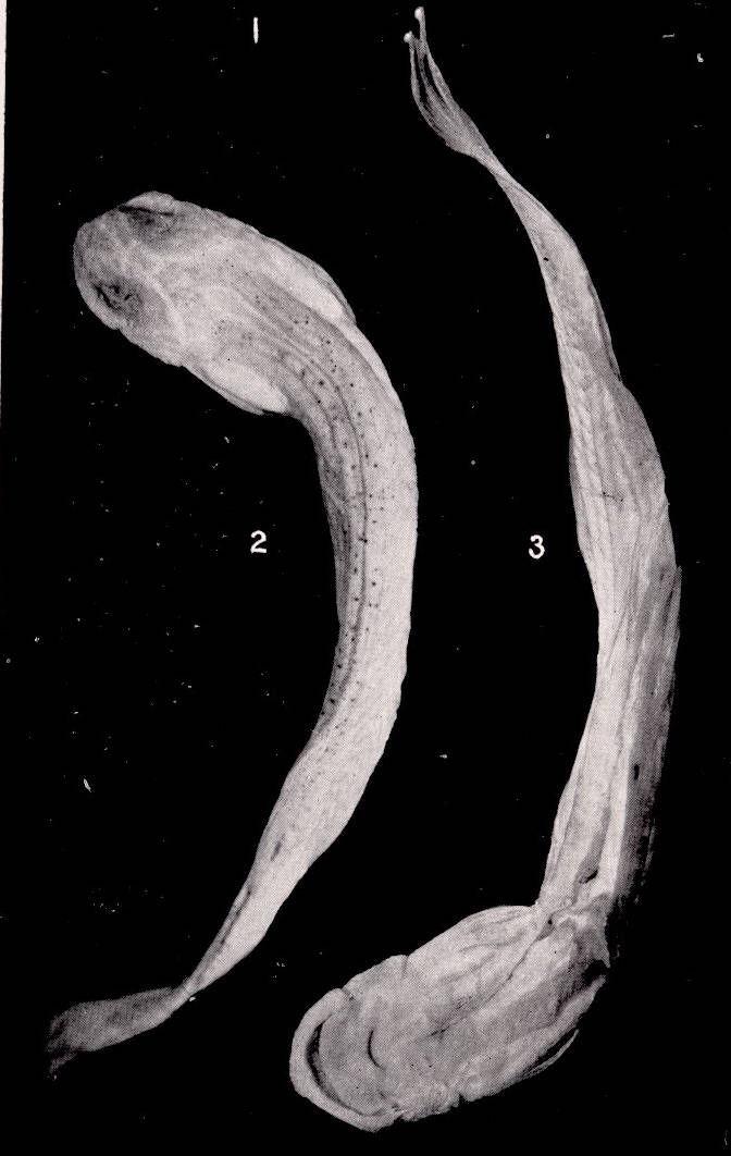 Image of <i>Homodiaetus anisitsi</i> Eigenmann & Ward 1907