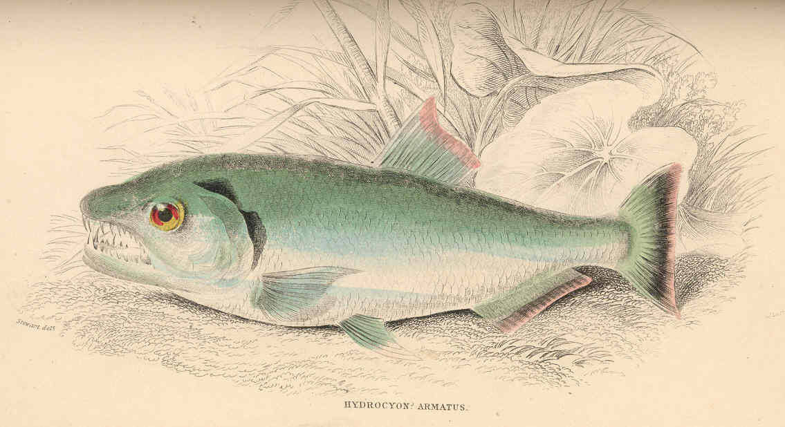 Image of <i>Hydrolycus armatus</i> (Jardine 1841)