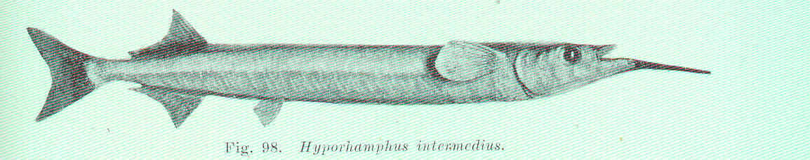Image of Asian pencil halfbeak