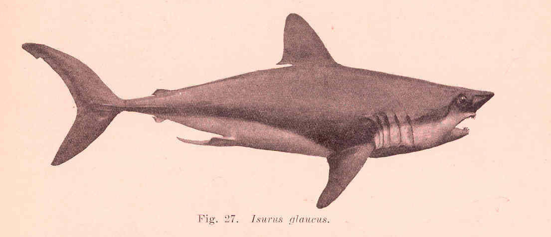 Image of Shortfin Mako