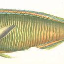 Image of Iulus