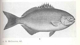 Image of Brassy chub