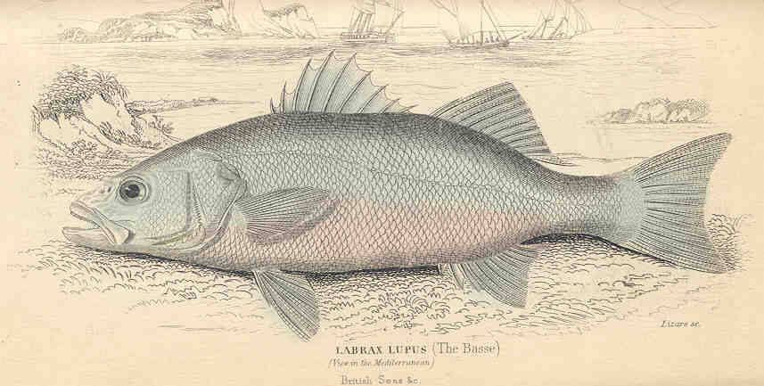 Image of European Seabass