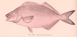 Image of Latridopsis