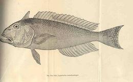 Image of Lopholatilus