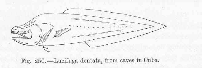 Image of Toothed Cuban Cusk-eel
