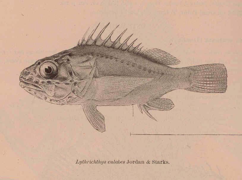 Image of <i>Lythrichthys eulabes</i>
