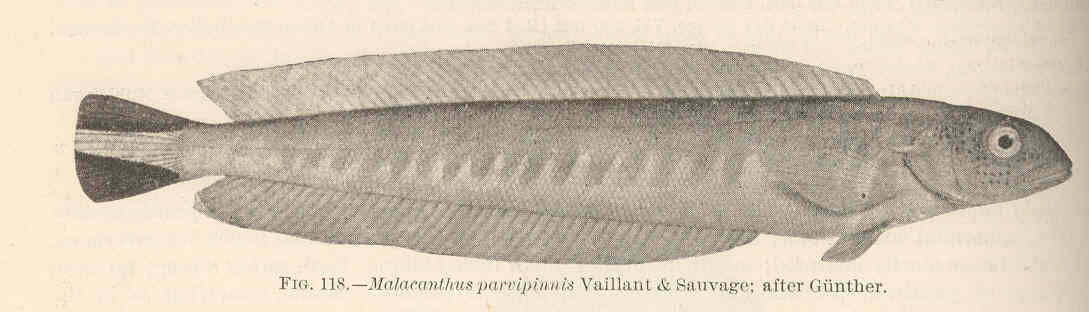 Image of Malacanthus