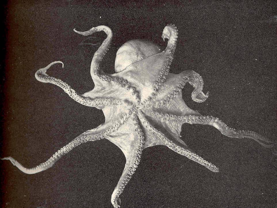 Image of <i>Megalocranchia fisheri</i> (Berry 1909)