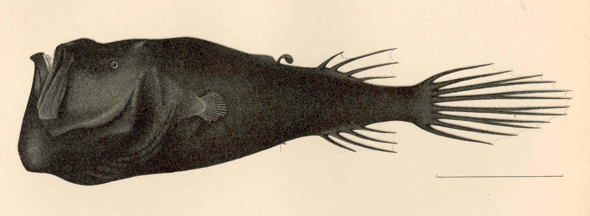 Image of <i>Miopsaras myops</i> Gilbert