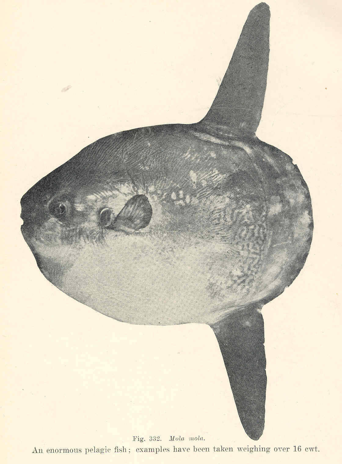 Image of Ocean Sunfish