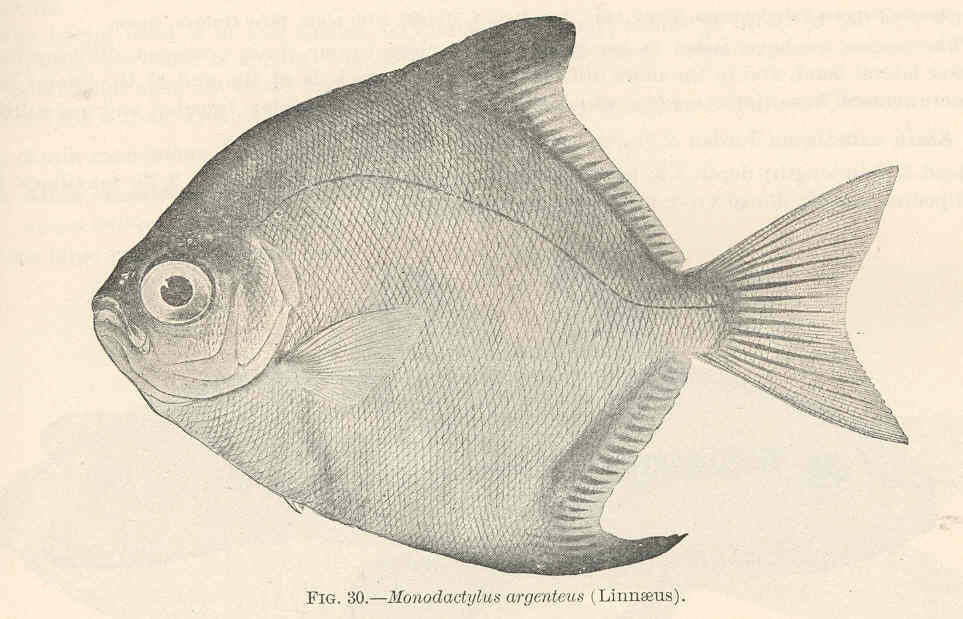 Image of Silver moony