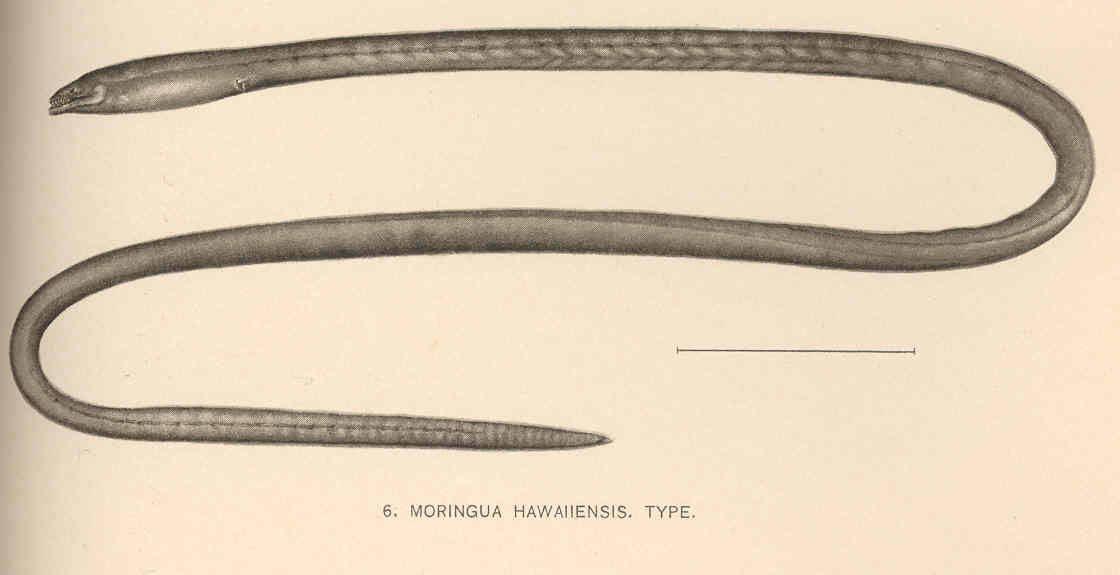 Image of Hawaiian spaghetti eel